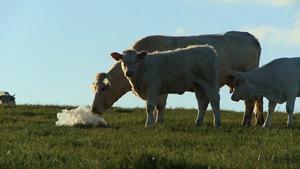 Une vache reniflant un sac plastique dans Bovines