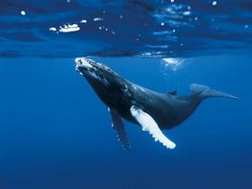 Une baleine dans le film Océans de Jacques Perrin