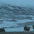 Amour vache L'Islande est surtout connue pour ses aurores boréales. Ou alors pour sa musique, dignement représentée par Björk, aussi actrice à ses heures, et le magique groupe de post-rock...